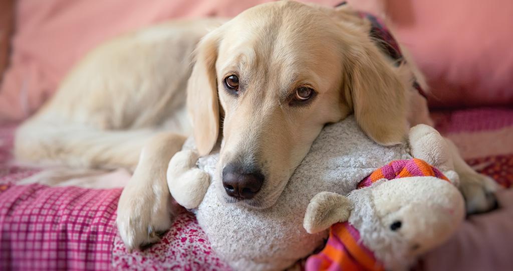 Ложная беременность у собак – причины и лечение