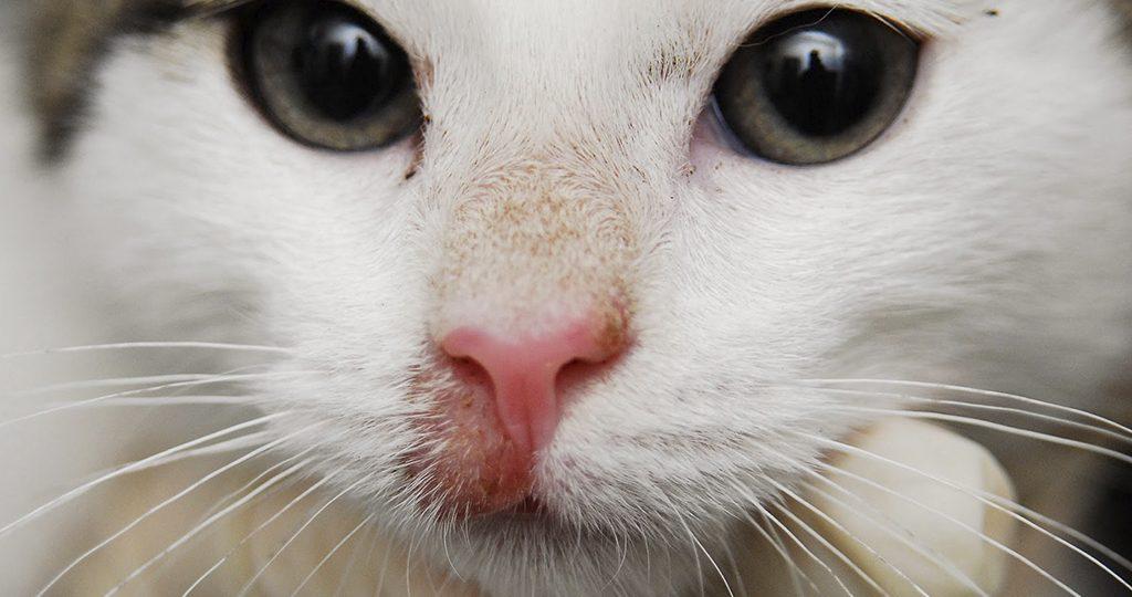 Стригущий лишай у кошек – причины и лечение