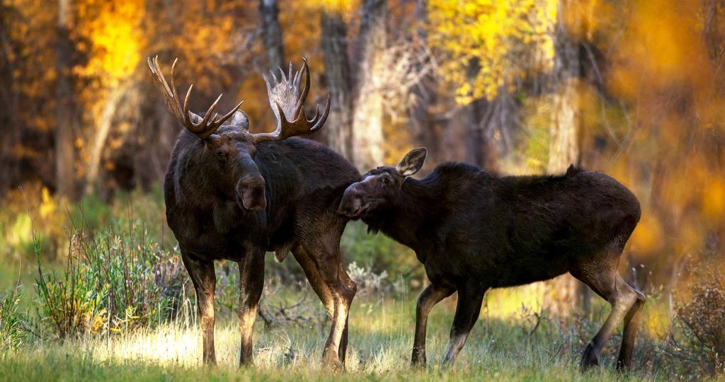Что делать, если встретил в лесу лося – правила