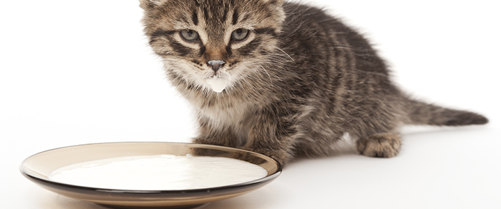 Коровье молоко для котят