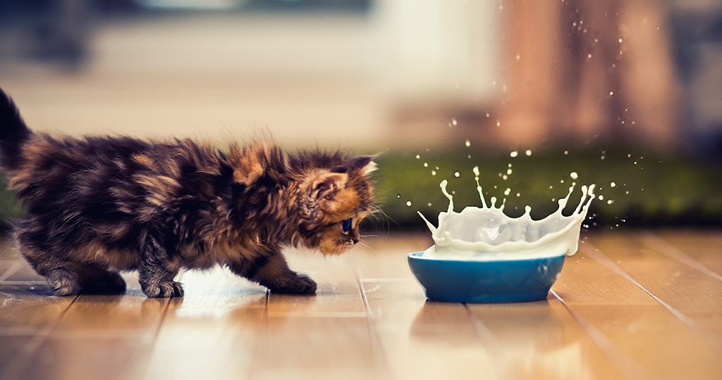 Молоко для котят – виды, польза и влияние заменителей