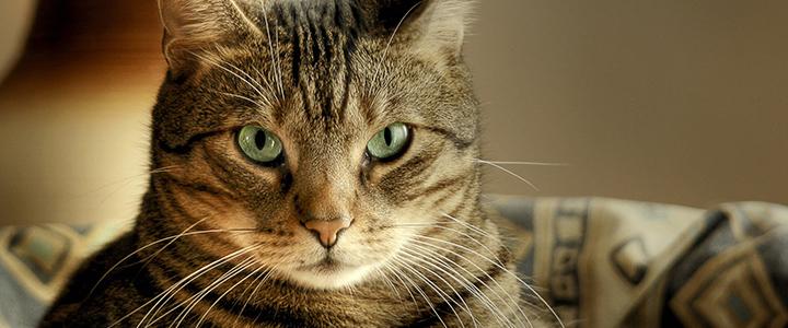 У кота кровь в моче