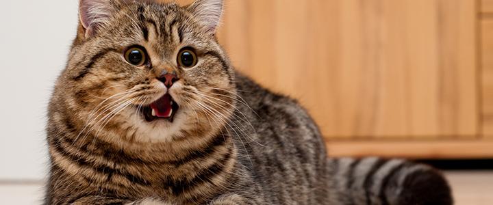 У кастрированного кота кровь в моче