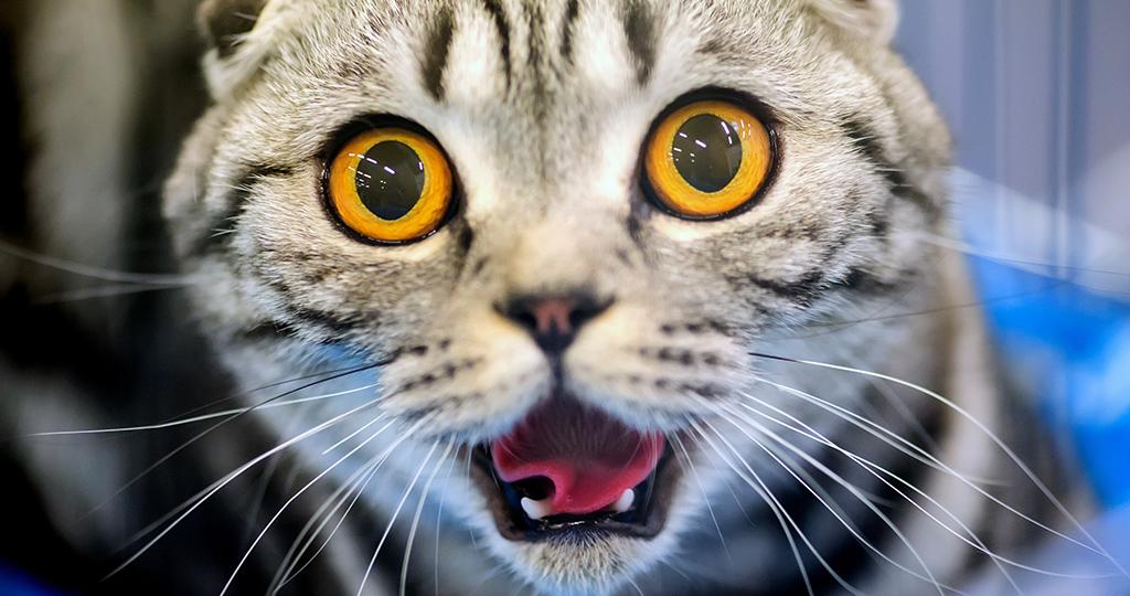 Темная моча у кошки (кота): причины изменения цвета и лечение
