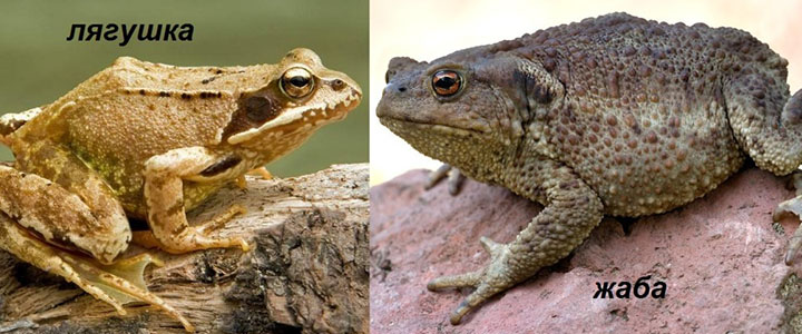 Отличие жабы от лягушки
