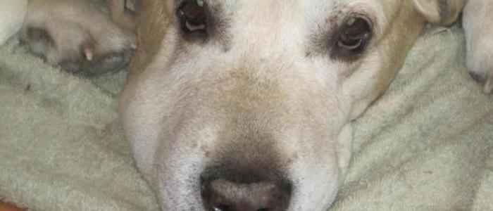 Флюс у собаки