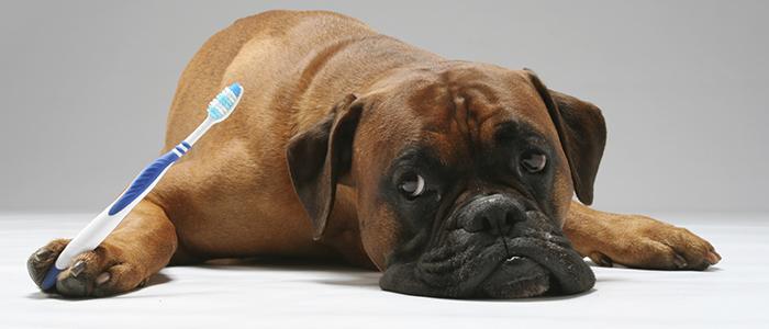 Почему появляется флюс у собаки