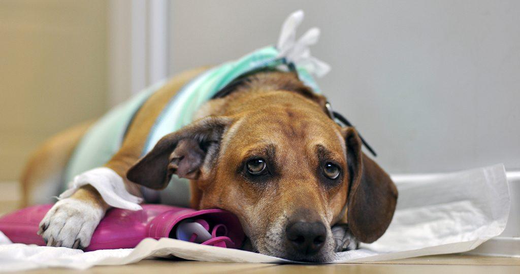 Хламидоз у собак – причины и лечение