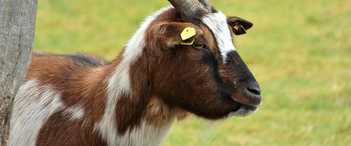 Зачем козе стягивают рога
