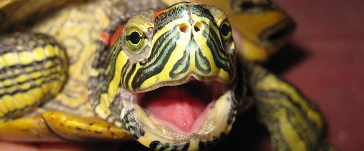 Что делать, если красноухая черепаха не ест