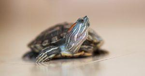 Красноухая черепаха не ест – причины и лечение