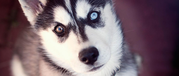 Почему у хаски глаза разного цвета