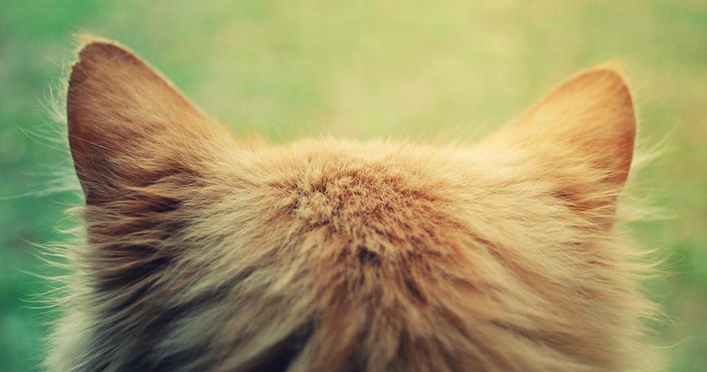 У кота горячие уши – причины и что делать