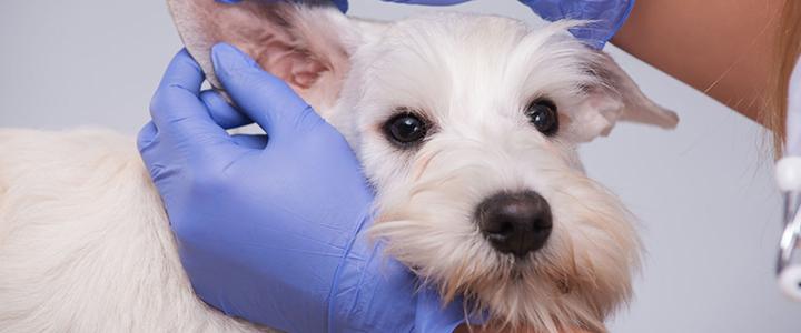 У собаки течет из уха – что делать