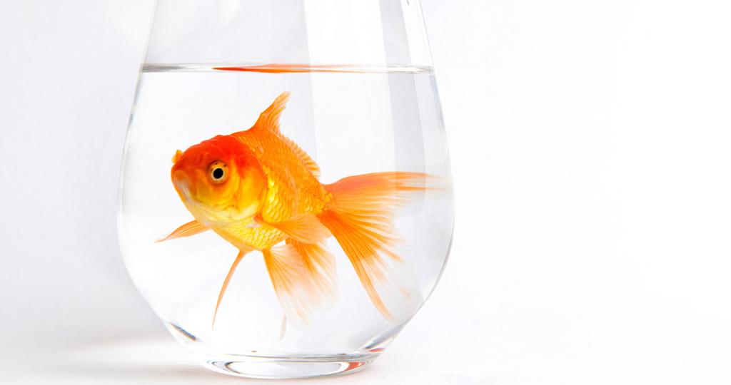 Золотая рыбка побелела – причины и лечение