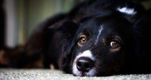 Бельмо на глазу у собаки – причины и лечение