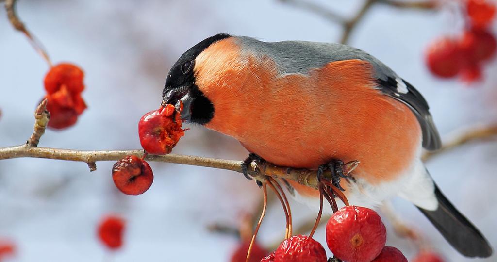 Чем кормить снегиря – полезные и вредные продукты