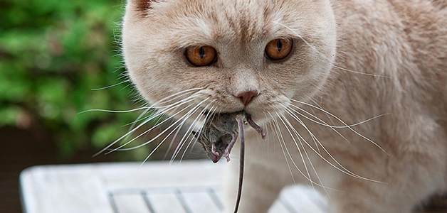 Кот принес мышь в дом