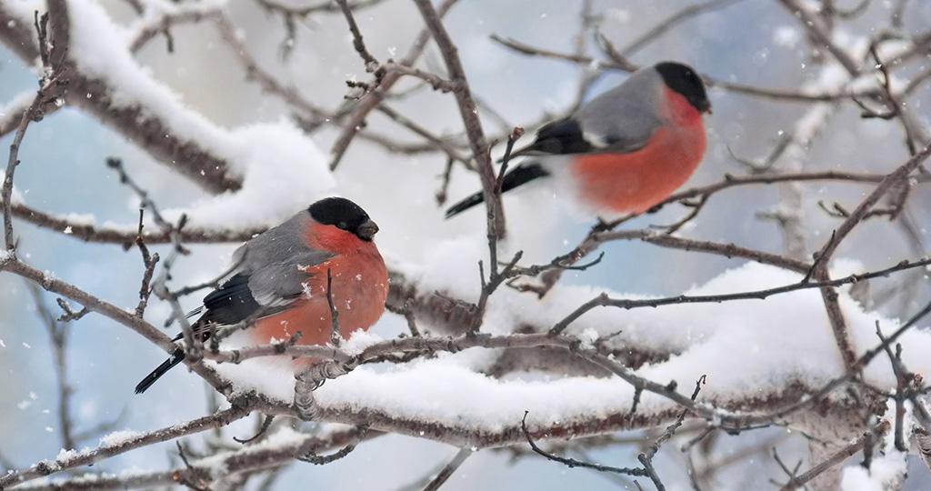 Снегири – когда прилетают и куда улетают