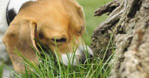 Собака ест землю – причины и как отучить