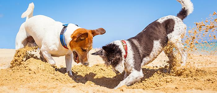 Собака роет ямы возле будки
