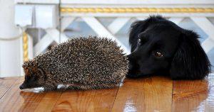 Собака съела ежа – что делать и последствия