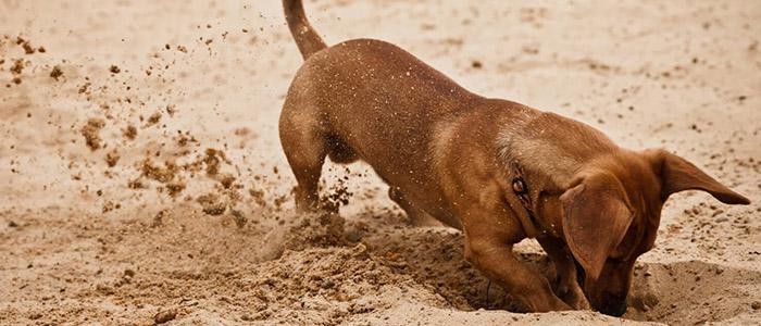Собака закапывает еду