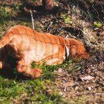 Собака закапывает еду – почему и как отучить