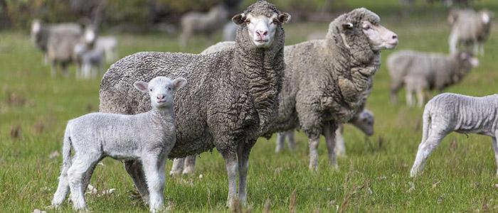 Длительность беременности овцы