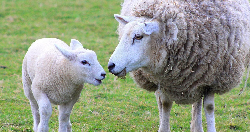 Беременность овцы – сколько длится и как протекает