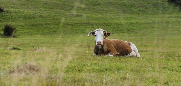 Признаки эндометрита у коров