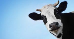 Эндометрит у коров – что это и как лечить