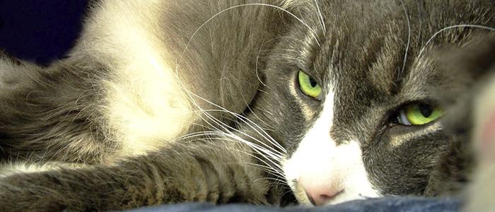 Вакцина от хламидоза у кошек