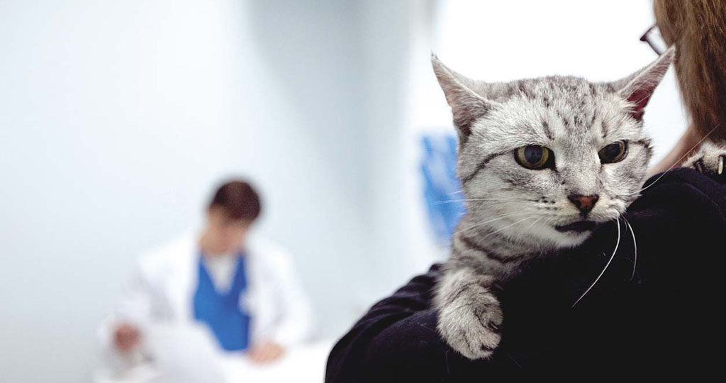Хламидоз у кошек – признаки, лечение и профилактика