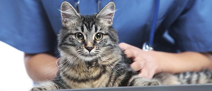 Кастрированный кот метит дома