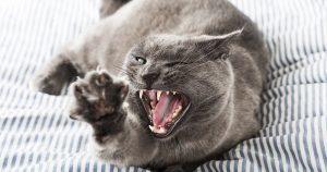 Кастрированный кот метит – причины и как отучить