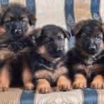 Почему немецкие овчарки едят щенков