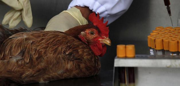 Лечение птичьего гриппа у кур
