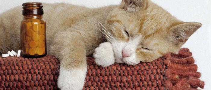 Ринотрахеит у кошек в домашних условиях
