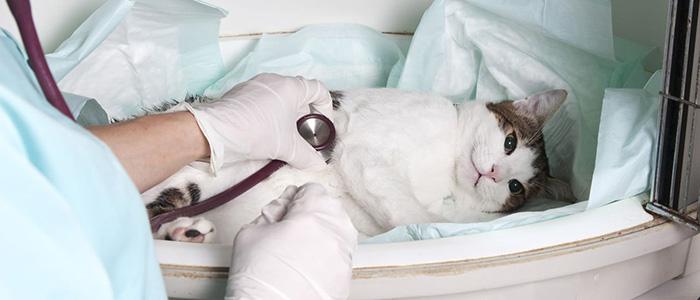 Вакцина от ринотрахеита у кошек