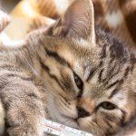 Ринотрахеит у кошек – причины и лечение