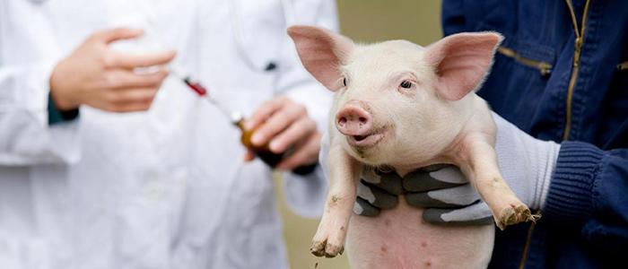 Сыворотка против рожи у свиней