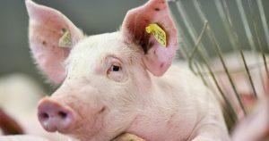 Рожа у свиней – признаки и лечение