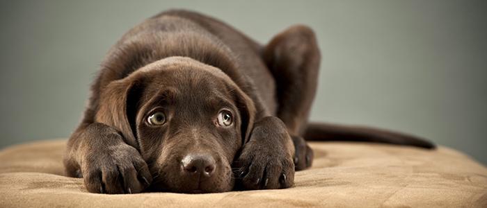 Что делать, если собака боится выстрелов