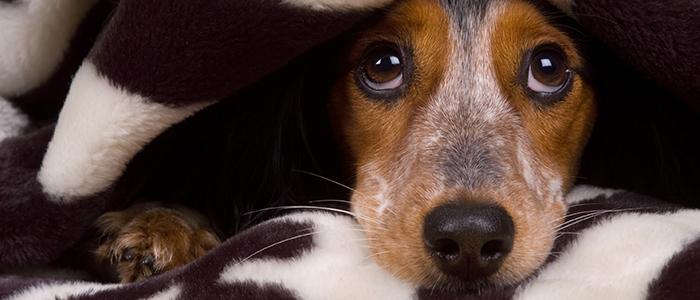 Почему собака боится выстрелов