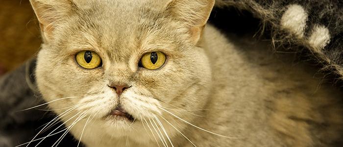 Почему кот икает