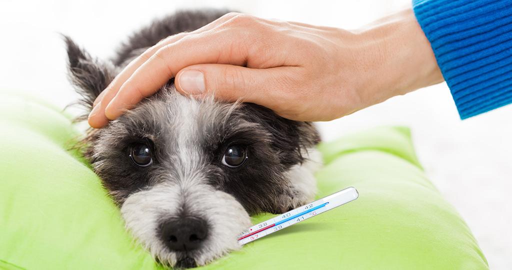 Нормальная температура у собак – показатели и как измерить