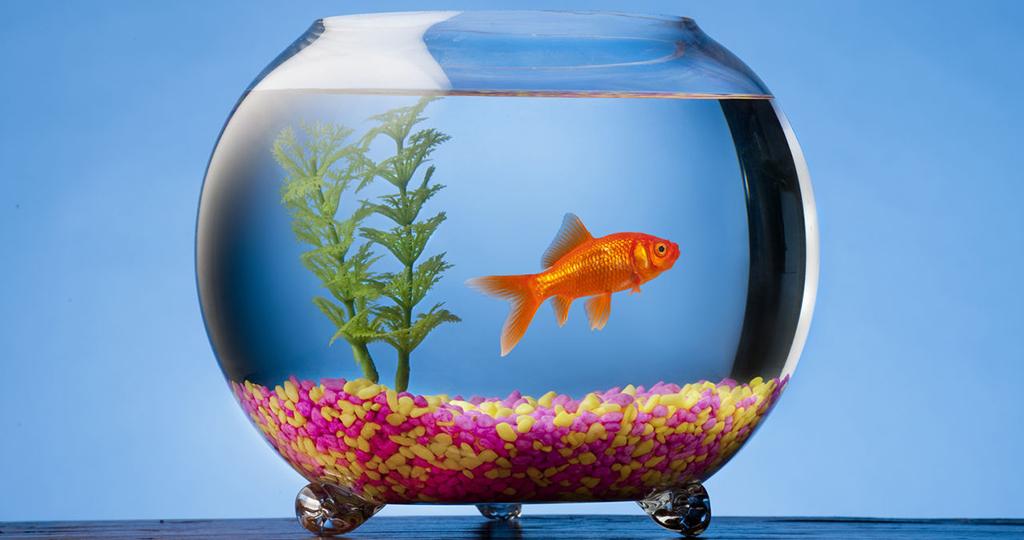 Каких рыбок можно держать в круглом аквариуме