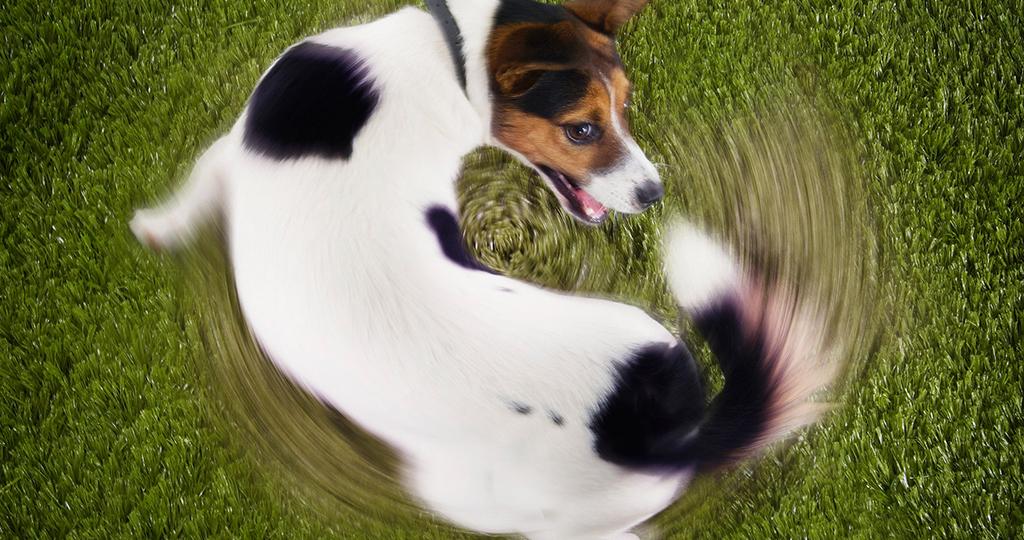 Почему собака грызет свой хвост? Не просто игра