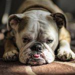 Вялость у собаки – причины и лечение
